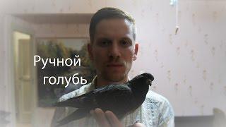 Ручной голубь