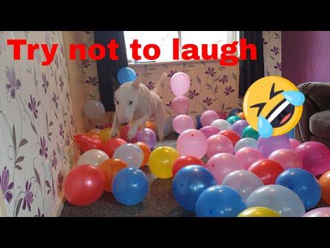 terrier-vs-100-balloons---funny-dog-video