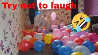 Terrier vs 100 balloons  Funny dog video