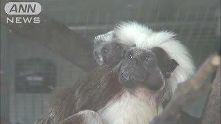 茨城県日立市の動物園では、先月に生まれた珍しいサルの赤ちゃんが人気...