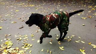 Лабрадор в Комбинезоне. Какую одежду одевать на крупных собак?