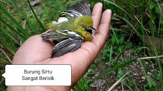 Dapat Burung Sirtu/Sirpu/Cipoh Yg Berisik Saat Mikat Burung