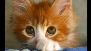 песенка рыжий кот как солнышко сияет