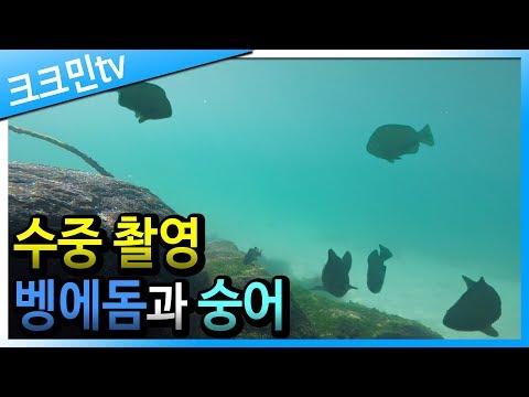 해조류 먹는 벵에돔과 숭어(수중 촬영 영상)