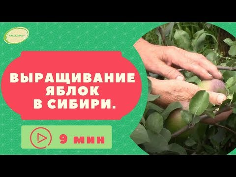 Выращивание яблок в Сибири. Опыт