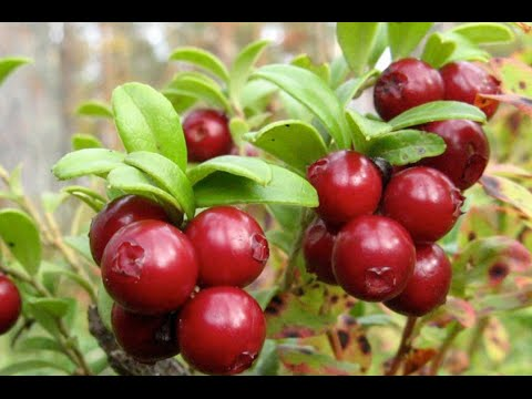 How to pick Lingonberry Day 6 of 21 Video/Blog Challenge