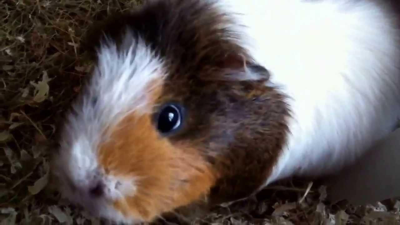 Cochon d 39 inde super mignon pousse des cris de joie hd youtube - Image de cochon mignon ...