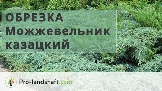 видео Можжевельник казацкий