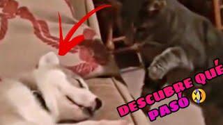 los Mejores Momentos de Perros y Gatos  Si te Ríes Pierdes [99,7% DIFÍCIL]