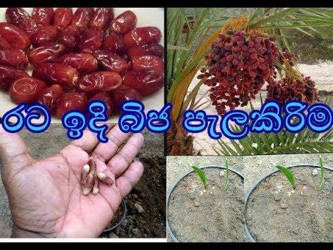 Download රට ඉදි බීජ පැලකිරිම ,rata idhi bija pelakirima ,How to grow a date palm tree from seed