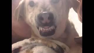 Собака не любит целоваться