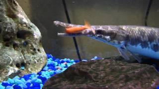 Feeding my florida gar some goldfish - Gar eating feeders