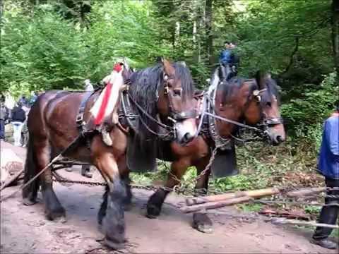Holzrücken mit Pferden beim historischen Waldtag Schiltach ...