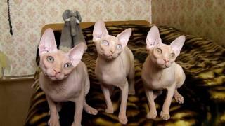 """Танец"" котят канадского сфинкса, пит.Рафинад (http://www.rafinad.okis.ru/).MP4"
