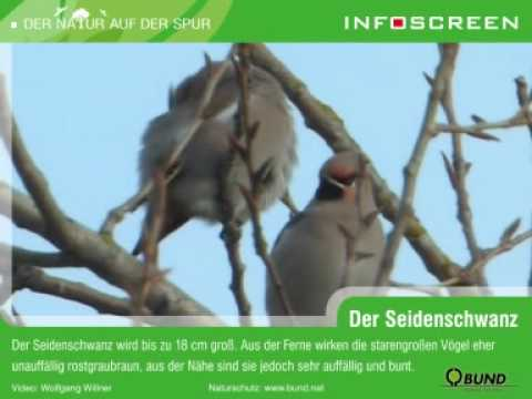 Seidenschwanz (Bombycilla garrulus)