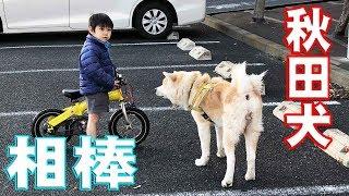 grandchild and Akita Inu 下孫の響、暴風雨春一番吹き荒れる日もKS電...