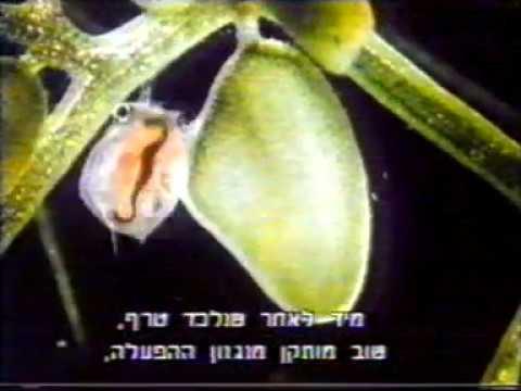 מלכודת פעילה, צמחים טורפים - נאדיר המים Utricularia
