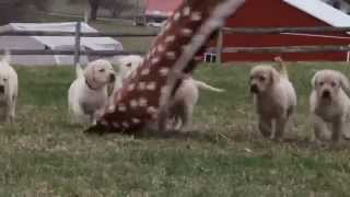 Yellow Labrador Retriever Puppies For Sale