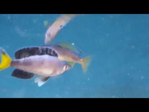 Cyprichromis leptosoma jumbo