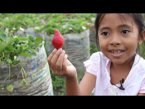 Wisata Memetik Buah Strawberry Di Sarangan Magetan - Strawberry Picking Farm