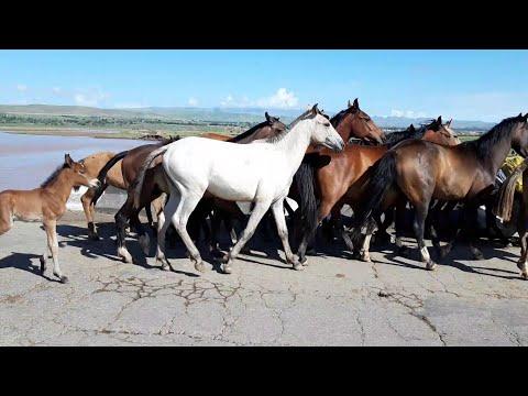 Галаи Асп дар айлок / #1 Horses Groom each other   2020