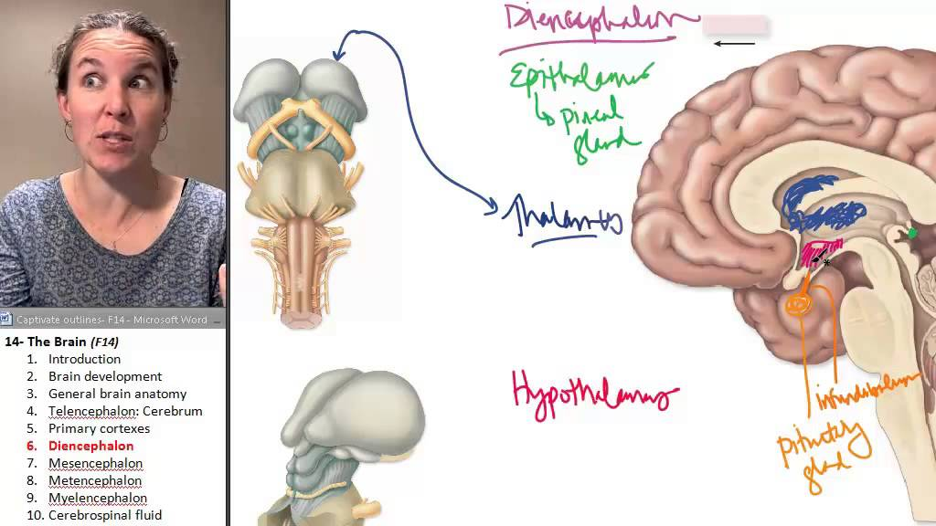 The Diencephalon Brain Human Anatomy Course Youtube