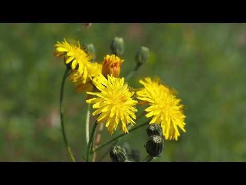 Crepis Biennis.mp4
