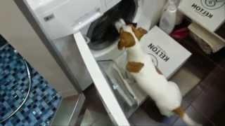 Джек Рассел терьер - самая умная собака. Папина помощница.