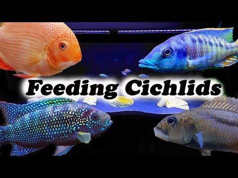 What We Feed Our Cichlids | Tips For Faster Growth
