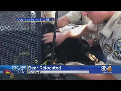 Young Adult Bear Found Behind High School In Fort Collins