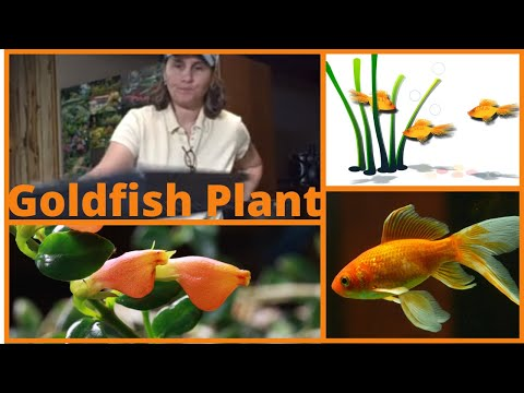 Planting- How To Propagate Goldfish Plant Cuttings Indoors