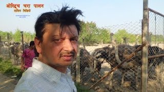 Ostrich Farming Training Video by Engineer Ramesh K Sharma Nepal