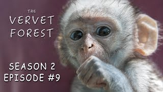 Orphan Baby Monkey With Brain Damage & Babies Play in Disneyland - Vervet Forest - S2 Ep9