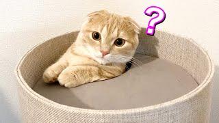 爪とぎタワーでモグラ叩きのように遊ぶ短足猫w