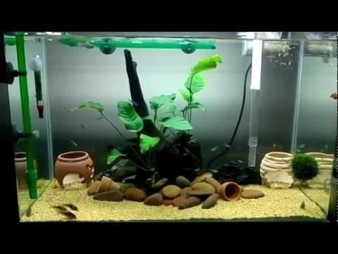 "My aquarium Corydoras 24"""