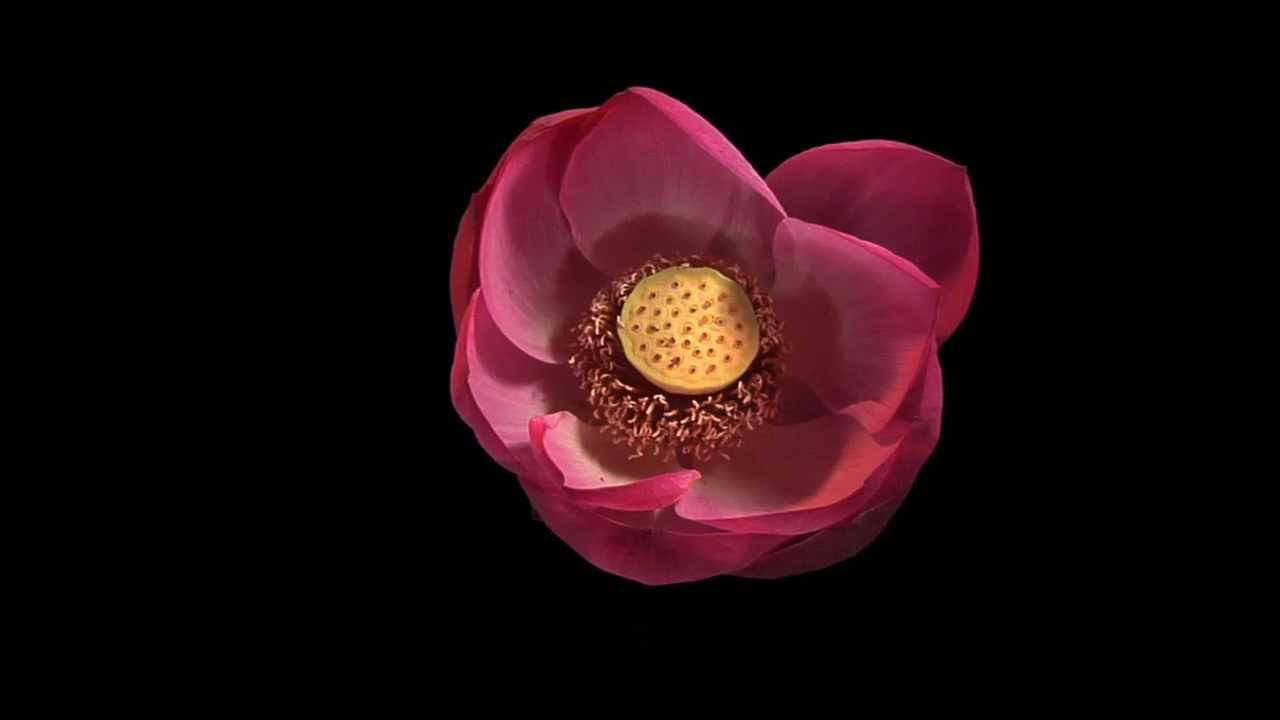 Lotus Flower Time Lapse Youtube