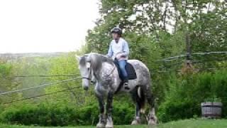 Dapple Gray Percheron