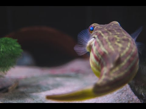 Lets Talk A Bit About Freshwater Puffers