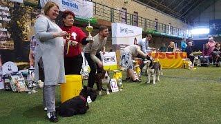 BEST IN SHOW - 2 группа пород (средние собаки). Чемпионат Армении. Выставка «Планета собак 2017»