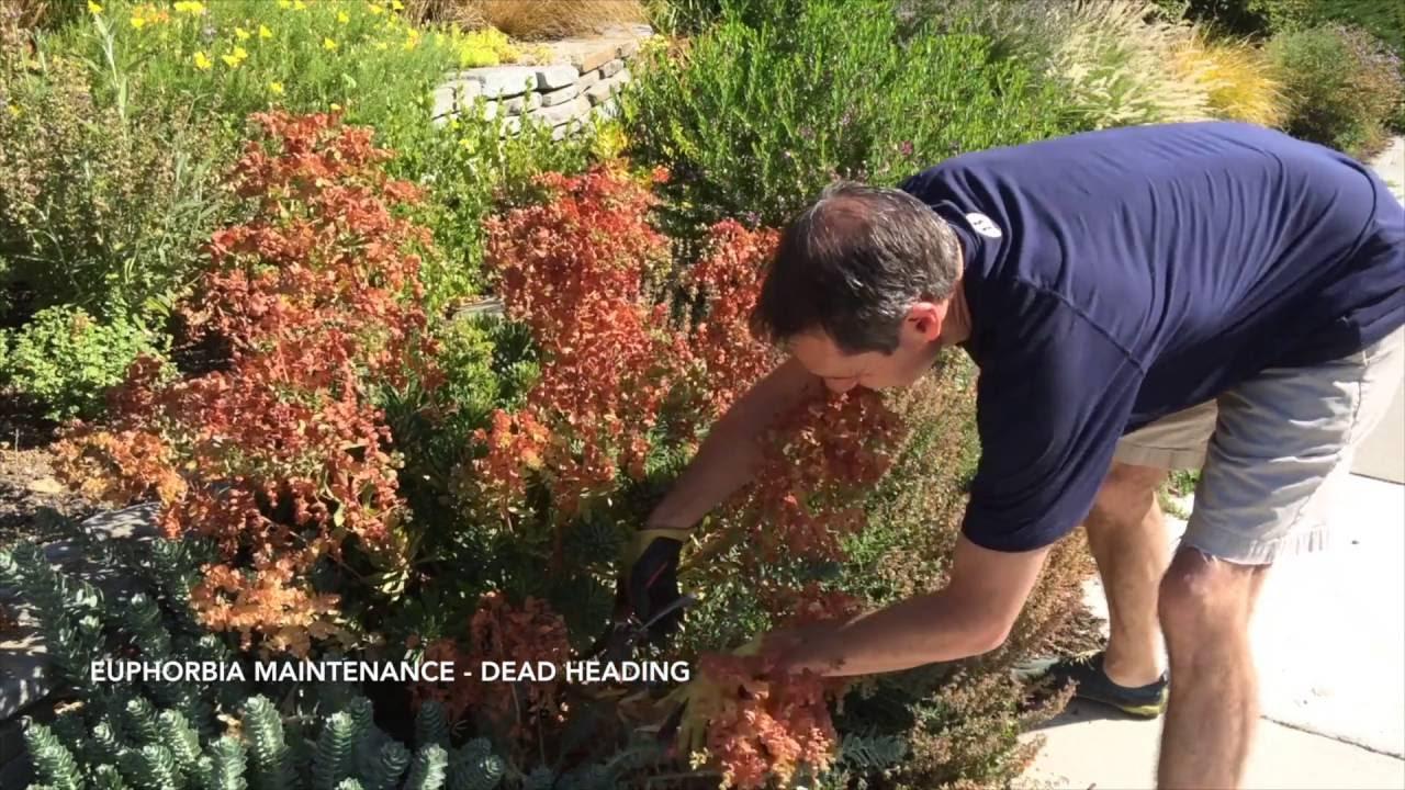 How To Maintain Euphorbia Dead Heading