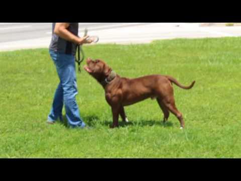 Red Chocolate American Bulldog