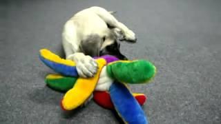 Mastiff puppy vs octopus