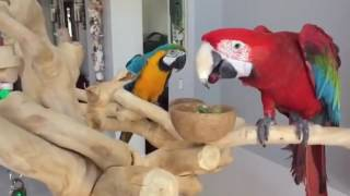 funny parrot  eating