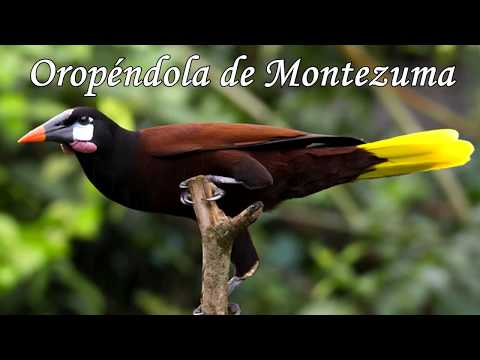 Documental Oropendolas