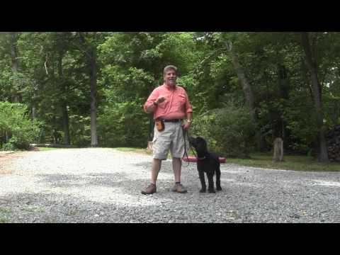 goldendoodle-dog-training-|-cody-|-winston-salem-nc
