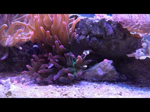 ANEMONE EATS FISH | COPPER BAND BUTTERFLY SALTWATER AQUARIUM