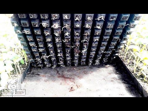Если корни арбуза вышли за пределы кассеты, НЕ СТОИТ ПЕРЕЖИВАТЬ 12 05 17