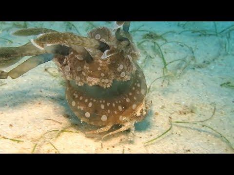 Crab Kidnaps A Jellyfish