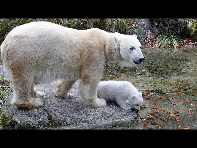Meet Quintana, Munich's polar bear cub