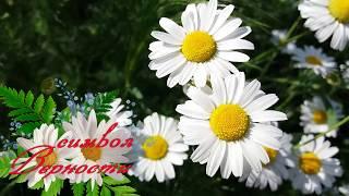 РОМАШКА - цветок любви,семьи и верности